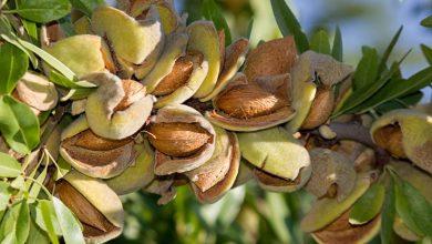 تصویر از کاهش ۹۰ درصدی تولید بادام در خراسان رضوی
